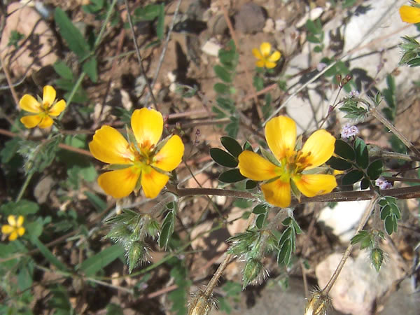 Weed control and vegetarion management in arizonas verde valley yellow flowering weeds called bulls head goats head or puncture vine mightylinksfo